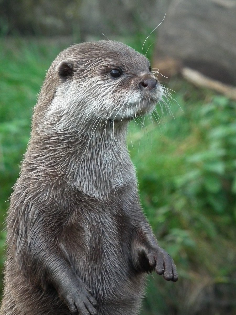 Cute Otter by NinjaLaura 900x1200