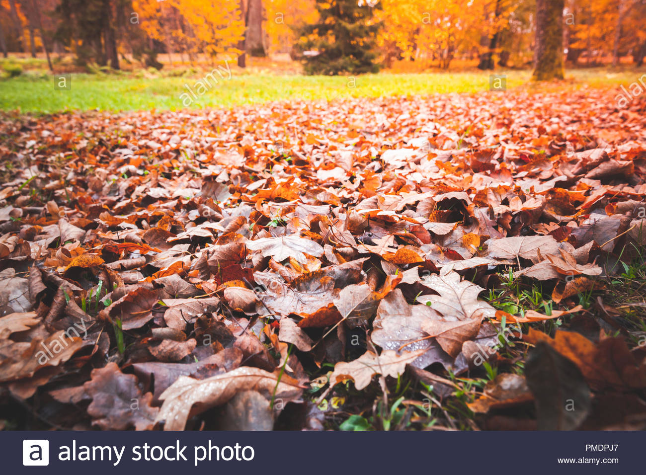 Fallen red oak tree leaves lay over lawn in park Natural autumn 1300x956