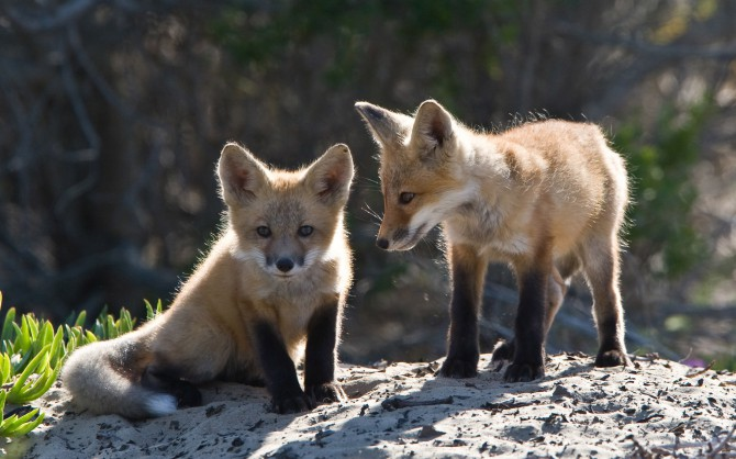 Baby Fox wallpaper   Cubs animals   Nature   Wallpaper Collection 670x418