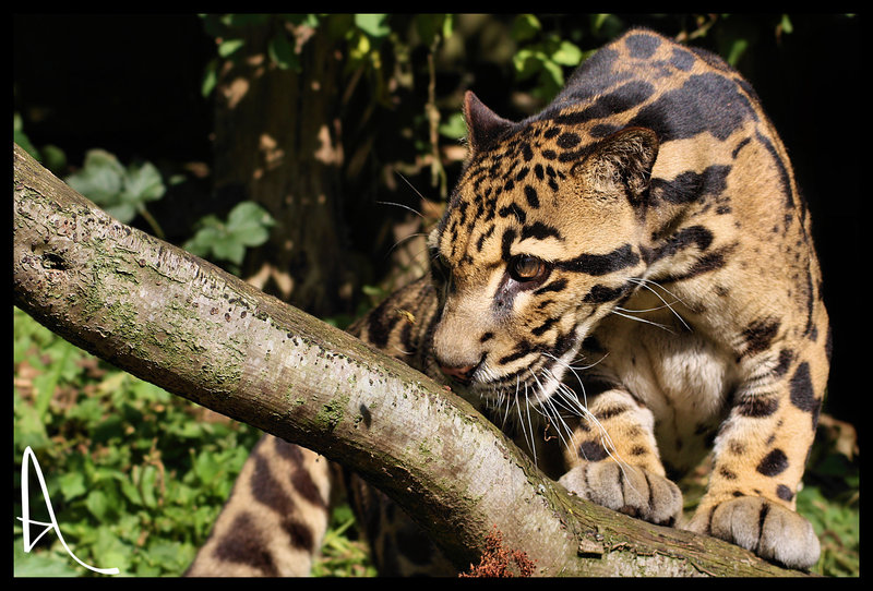 CLOUDED LEOPARD photos   wallpapers the fun bank 800x542