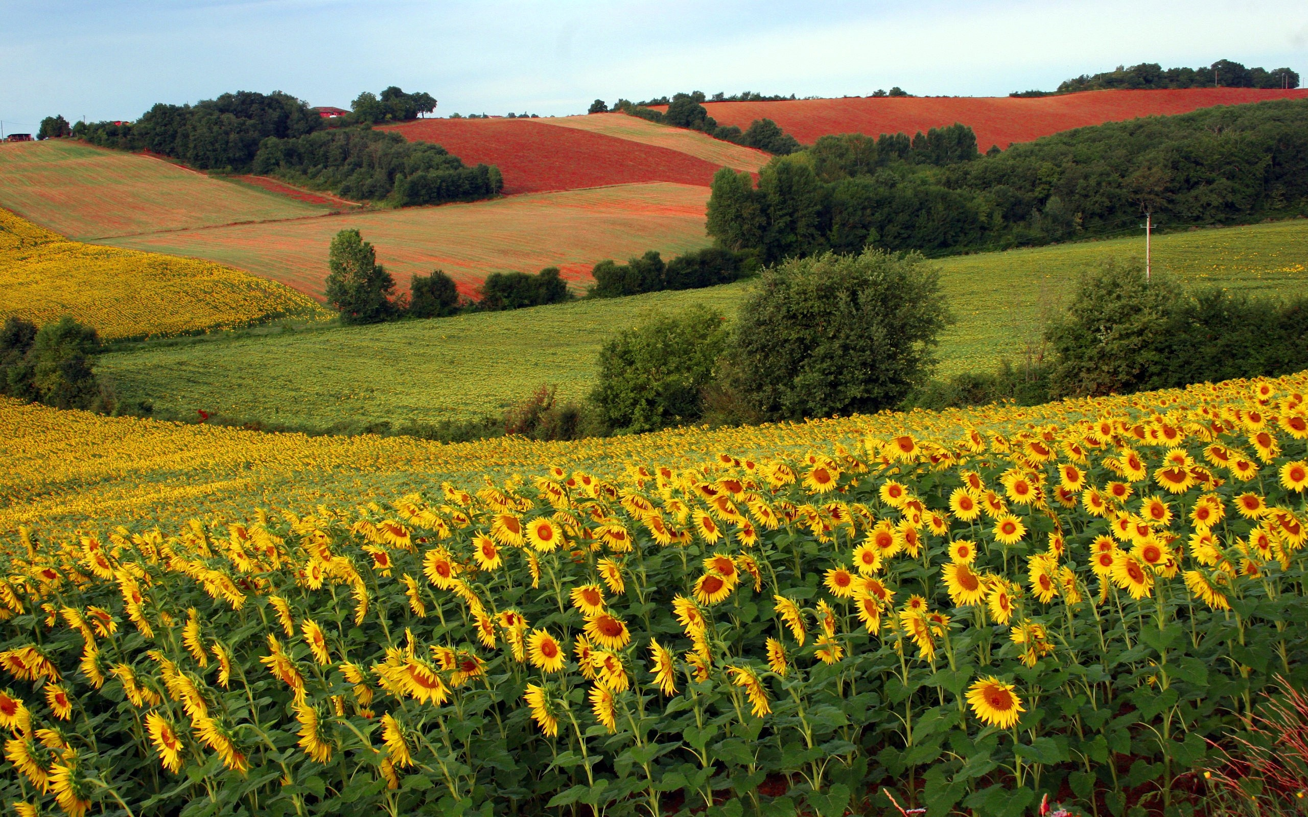 Sunflowers Wallpaper Field of Sunflowers wallpapers 2560x1600 2560x1600