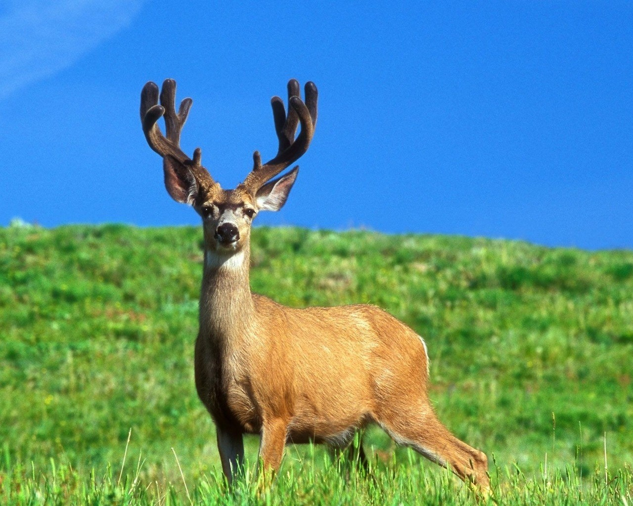 wallpaper added on 21 04 2013 category deer downloads 283 tags deer 1280x1024