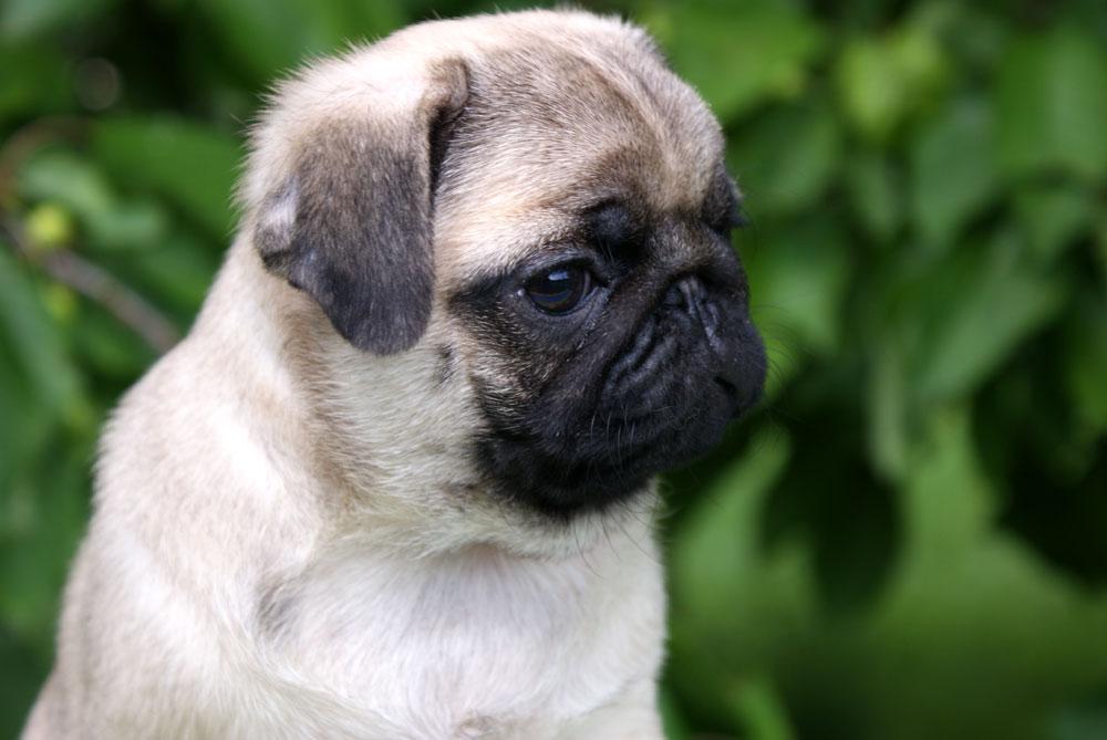 cute pug x pug wallpaper screensaver background cute pug puppy puggies 1000x669