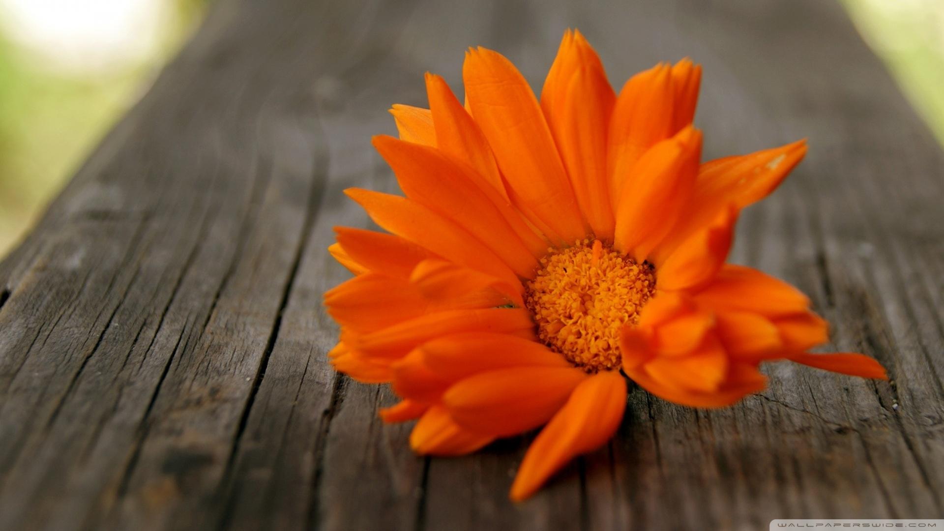 Beautiful Orange Flower Wallpaper 1920x1080 Beautiful Orange Flower 1920x1080