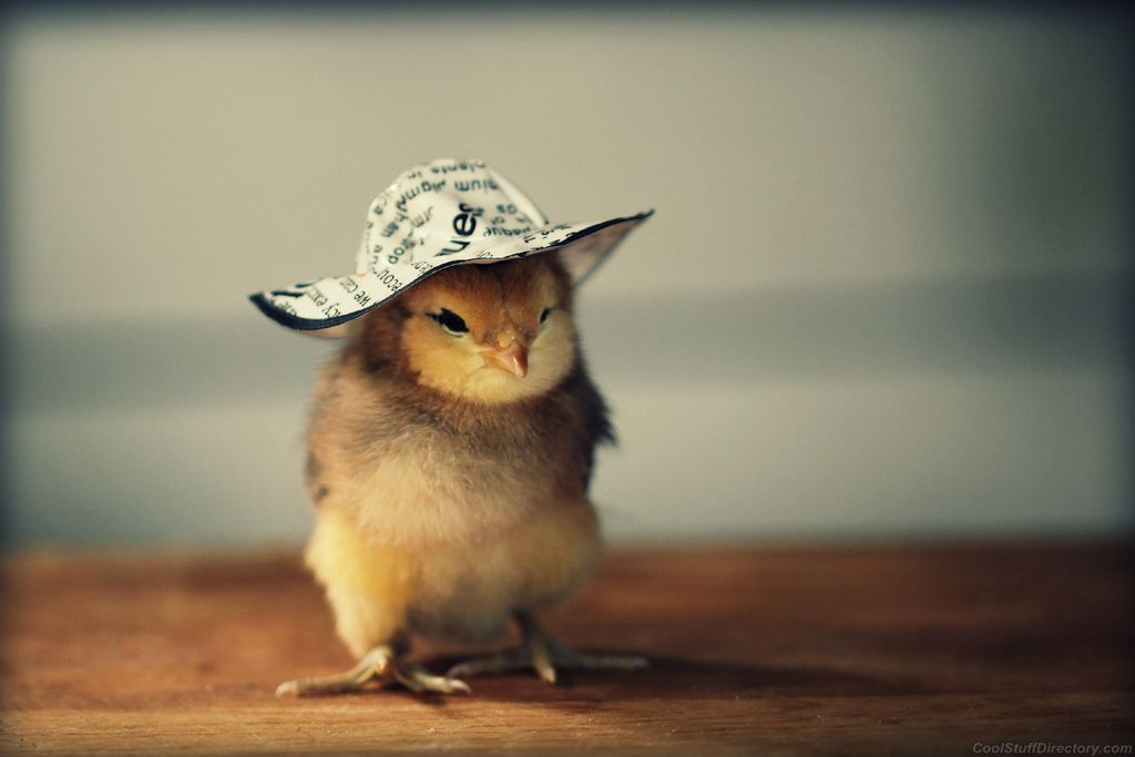 Cute Baby With Hat Wallpapers: Baby Chickens Wallpaper