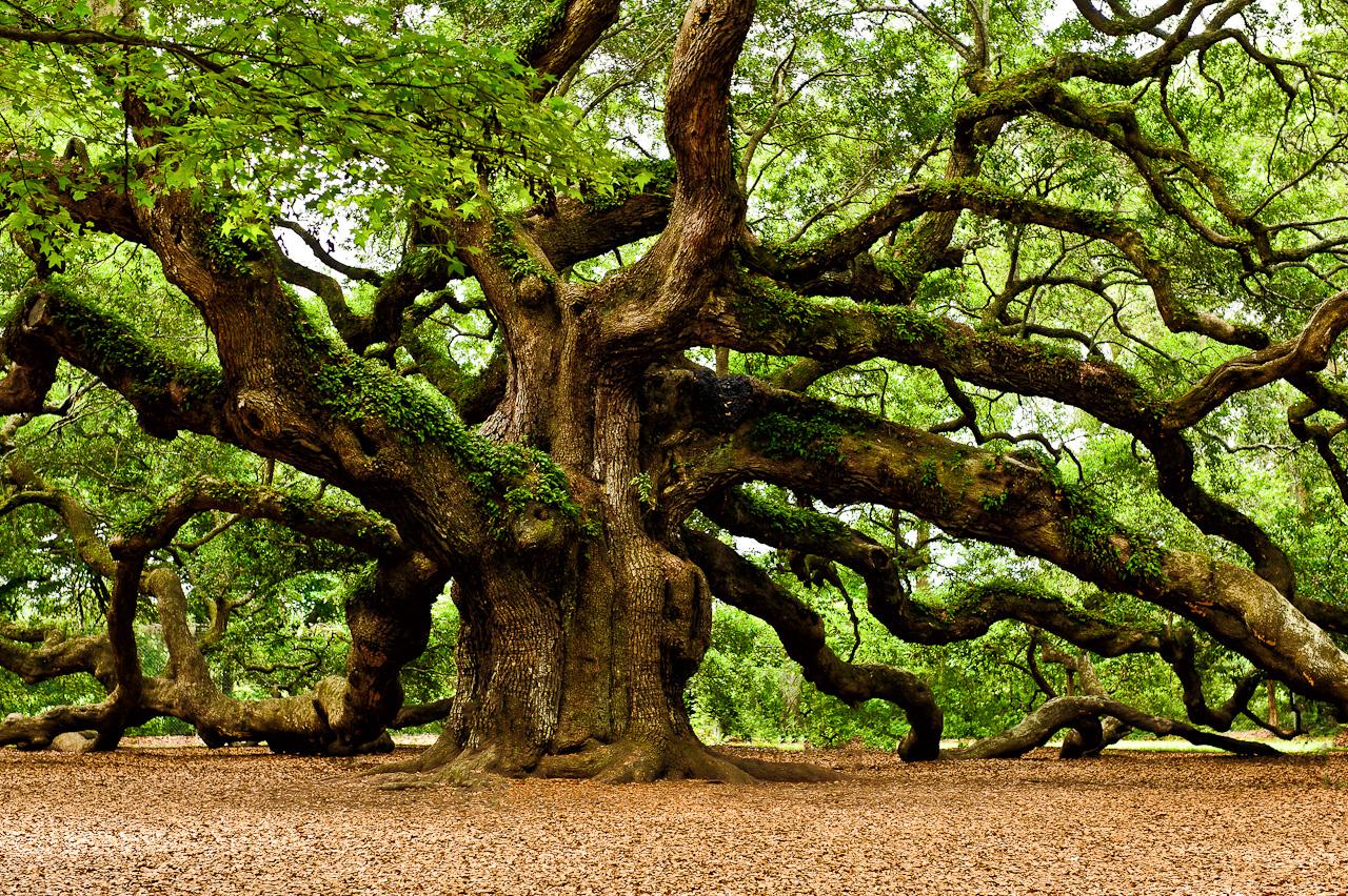 Mystical Angel Oak Tree Louis Dallara Photography 1280x852