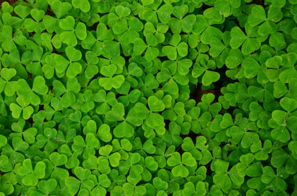 shamrock clover trefoil Plants Wallpapers Desktop Wallpapers 600x397