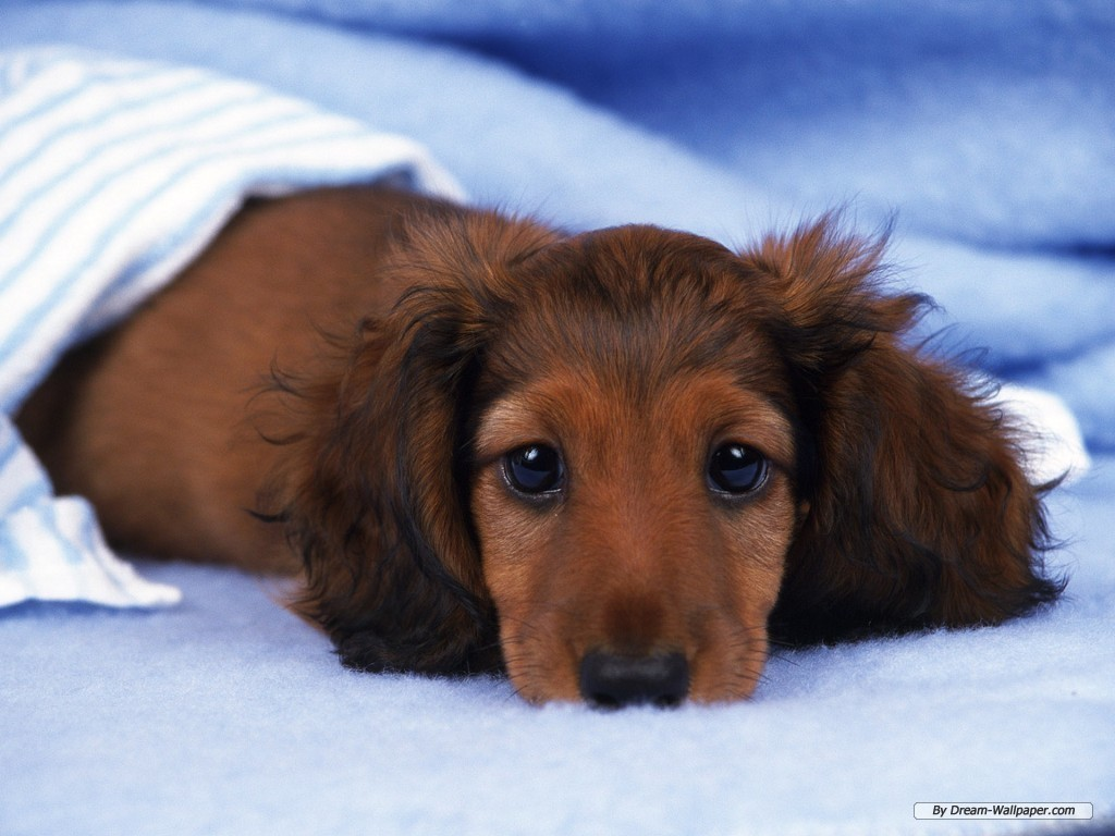 Dogs images Mini Dachshund Wallpaper HD wallpaper and 1024x768