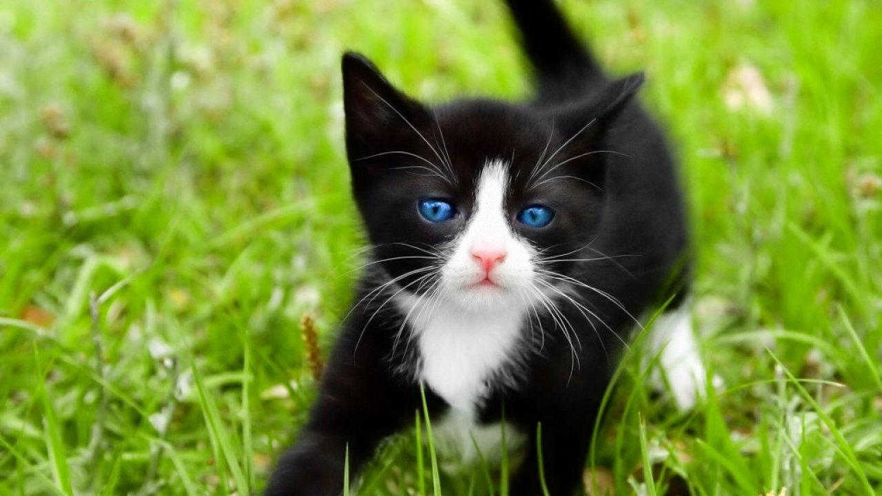 Beautiful Little Tuxedo Cat HD Wallpaper Download Tuxedo 1280x720