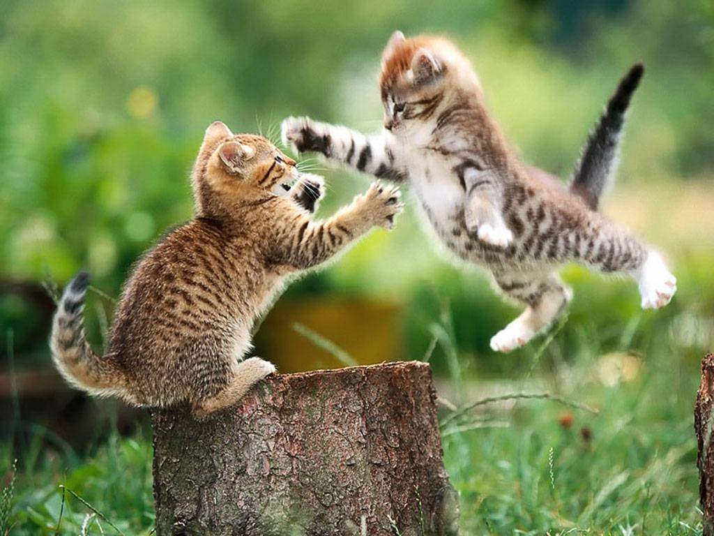 Aimys Collection Wallpapers Images Screensavers Cute Cat Fight 1024x768