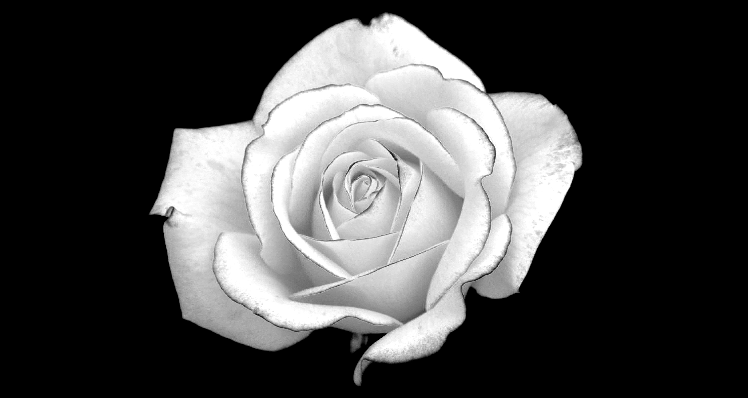 White Rose With Raindrops On Black Background Royalty Free Stock