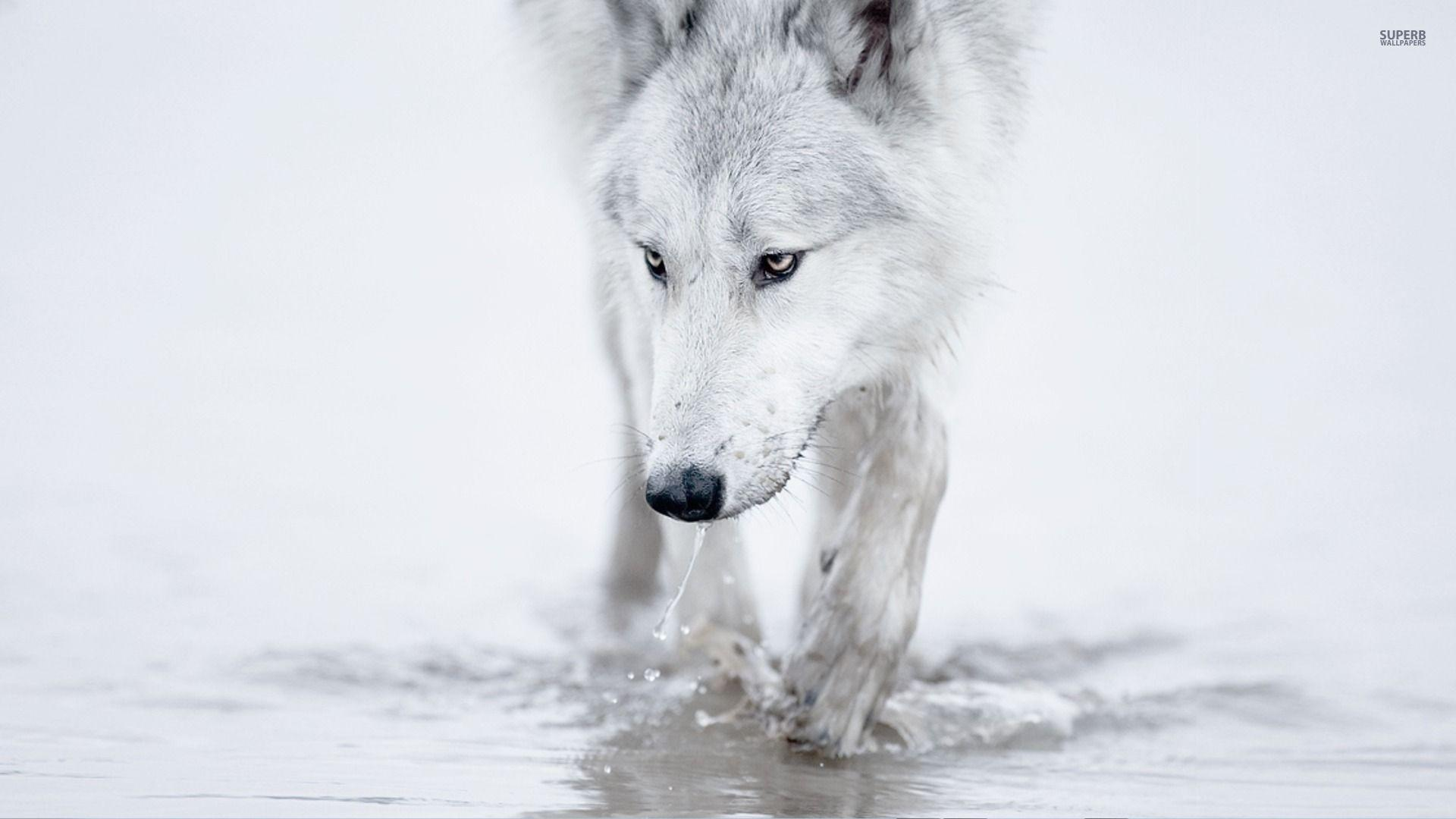 wolf wallpaper yorkshire - photo #31