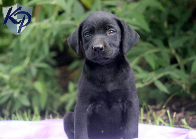 Labrador Retriever Black Puppies For Sale Keystone 681x482