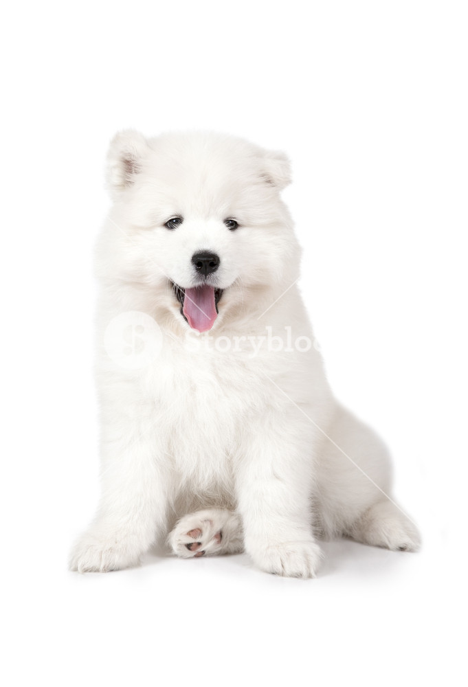 Seven months old Samoyed puppy dog isolated on white background 681x1000