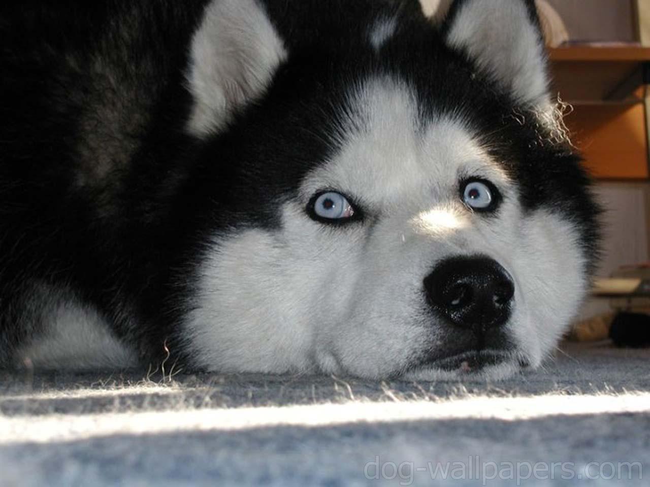 Cute Husky Siberiano Dogs Sleeping Wallpapersjpg   Creepypasta 1280x960
