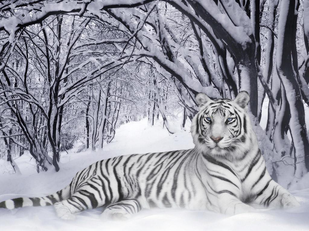 white bengal tigers hd wallpaper 2013 white bengal tigers hd 1024x768