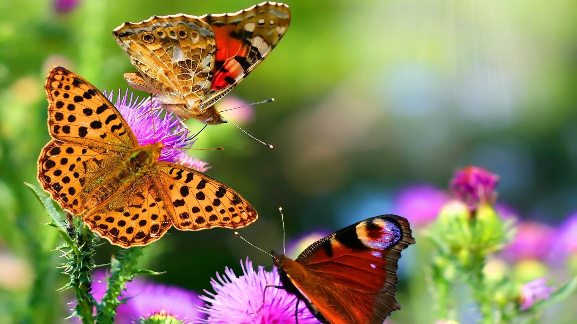Cool Butterfly Desktop Wallpapers HD 1920x1080