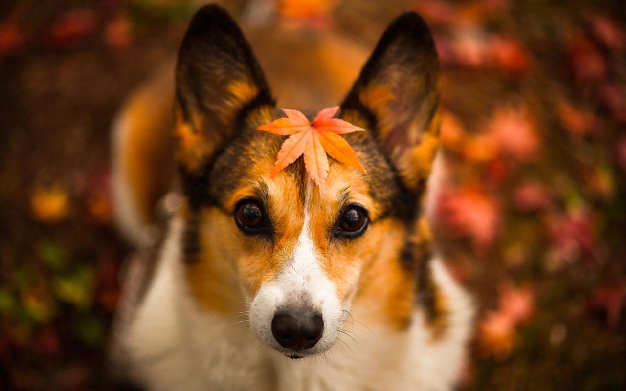 Autumn season wallpaper cute dog photography 15 Animal Wallpapers 1280x800