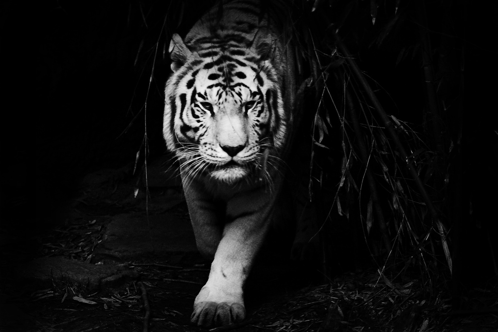 Black Tiger Wallpaper