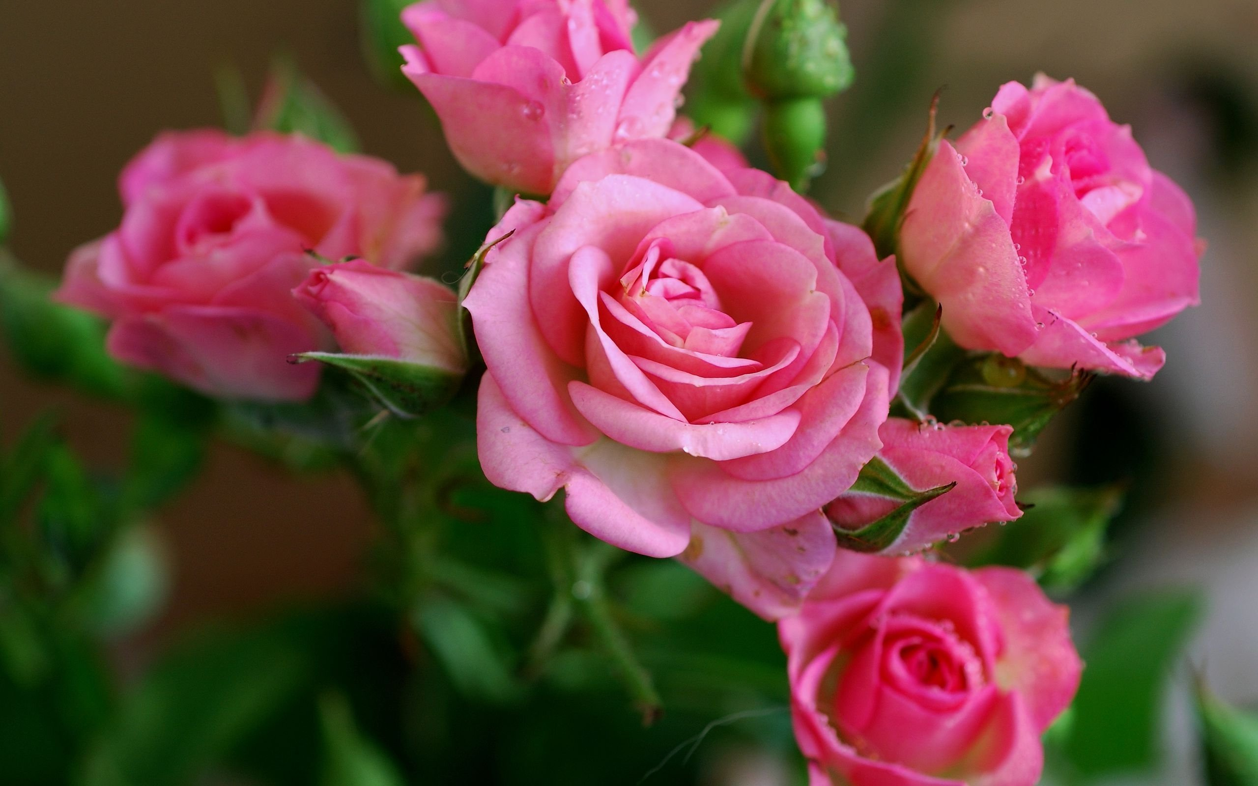 Pink rose flowers Nature wallpapers download HD Wallpapers for 2560x1600