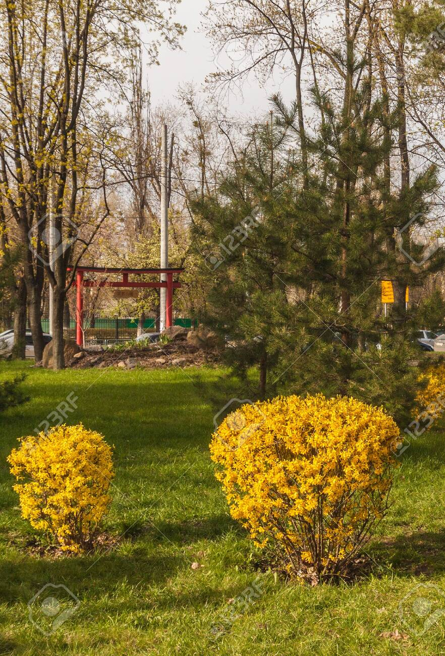 Forsythia Bushes Bloom Against The Background Of A Toro Gate 882x1300