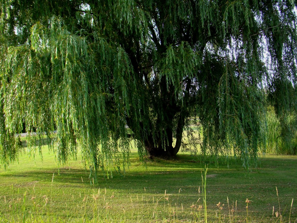 Beautiful Weeping Willow Tree Wallpaper Weeping willow tree 1024x768