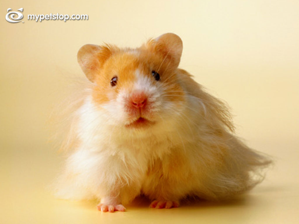 Hamsters wallpapers Hamsters background 1024x768