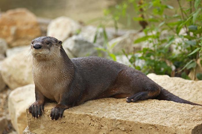 River Otter 700x466