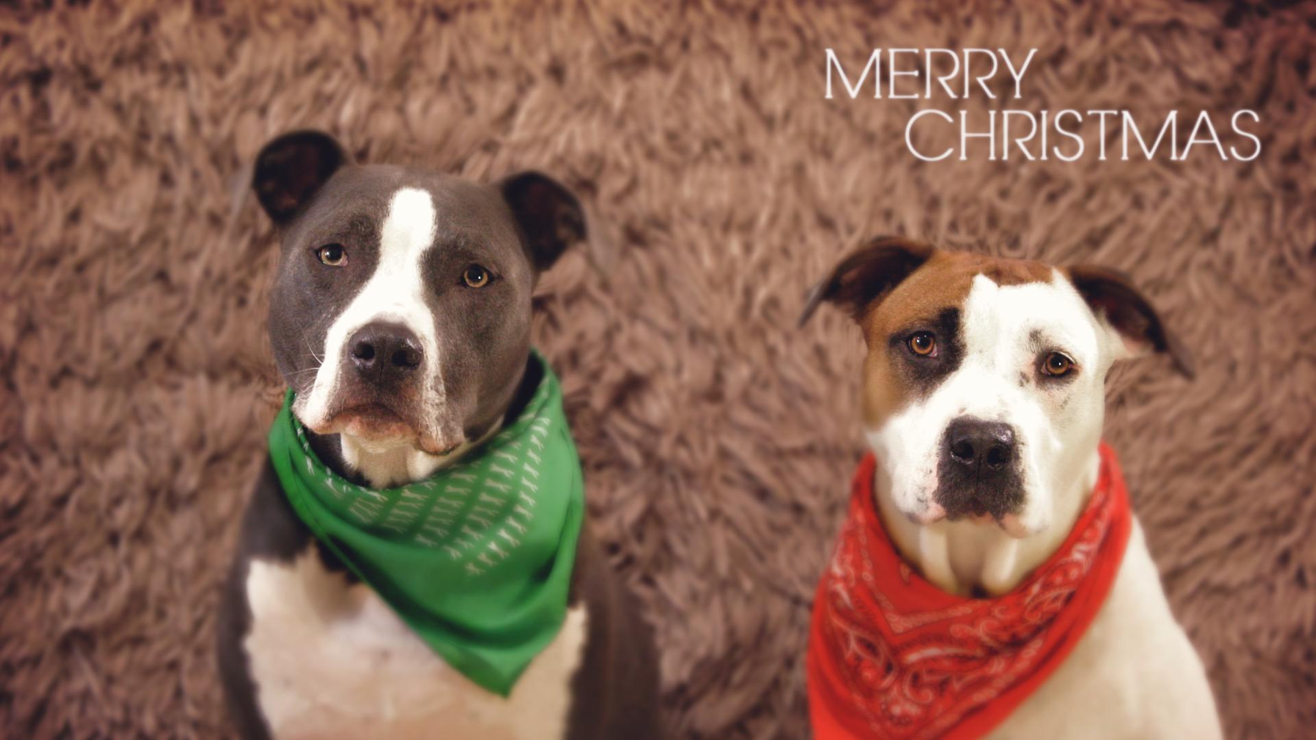 Pitbull Christmas Ornaments