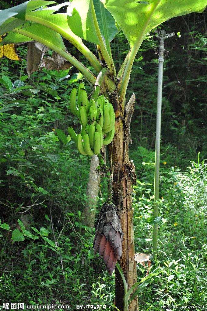 Posted in Tree Tags banana banana trees 680x1024
