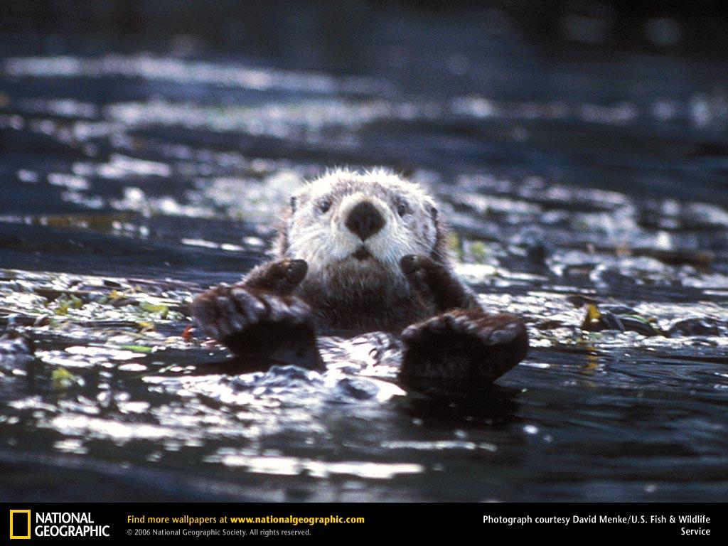 Sea Otter Picture Sea Otter Desktop Wallpaper Wallpapers 1024x768