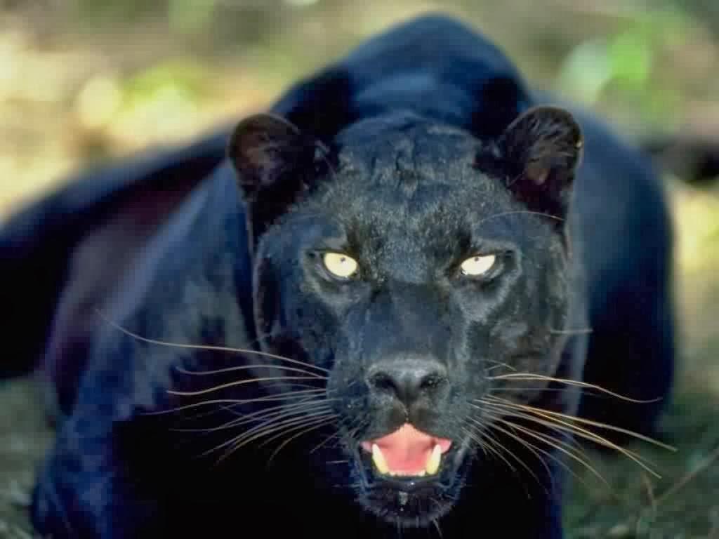 Black Panther HD Wallpapers black panther wild animal wild black 1024x768