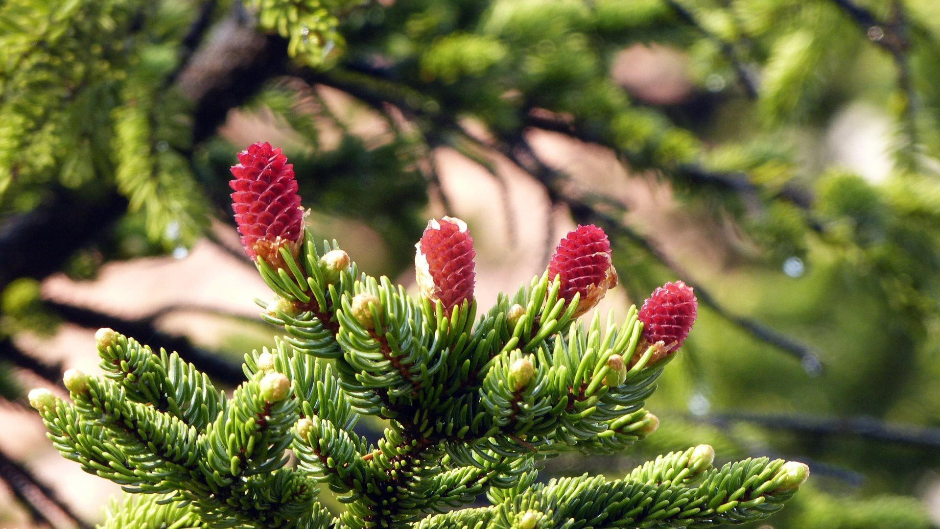 Pine Tree Flowers Cherry Green Flowers HD Wallpapers 4K Wallpapers 1920x1080