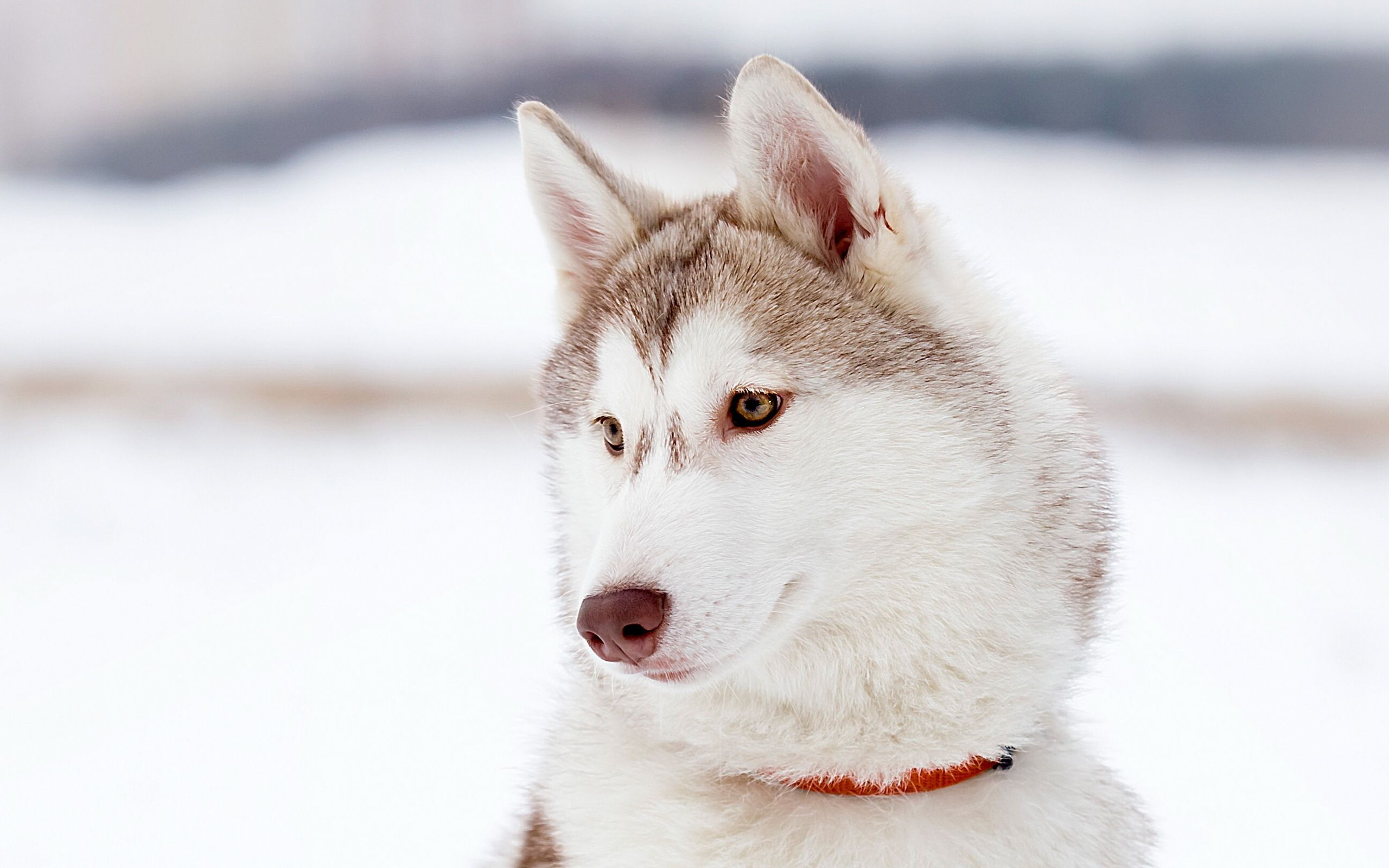 White Husky Wallpapers   Top White Husky Backgrounds 2560x1600