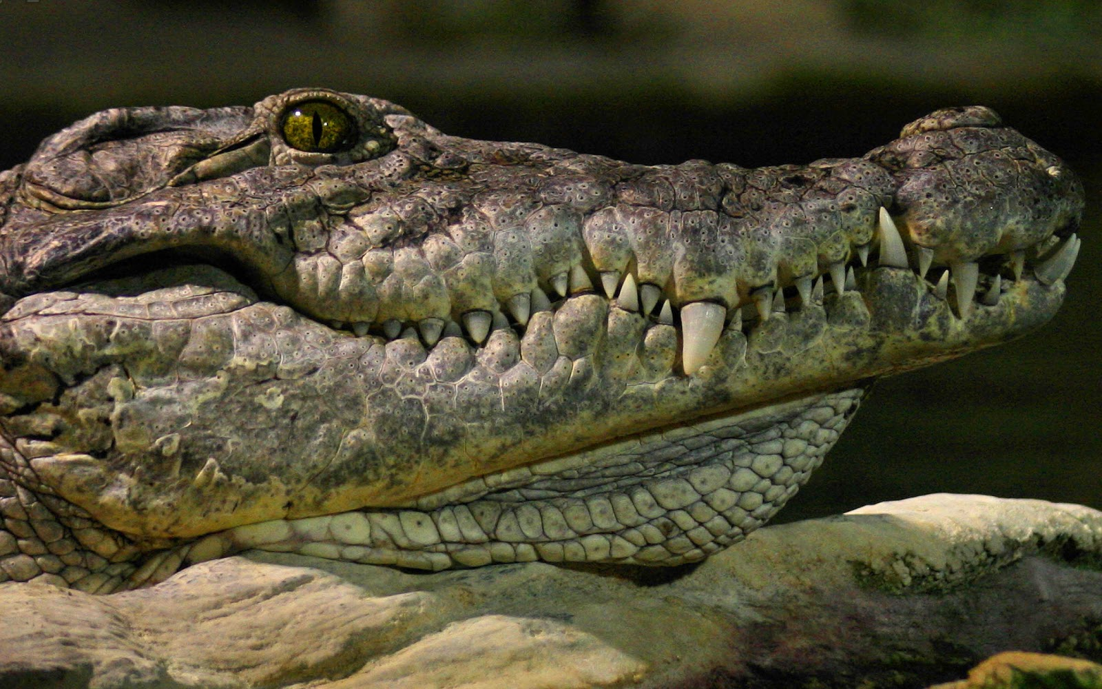 wallpaper with the portrait picture of a crocodile HD crocodile 1600x1000