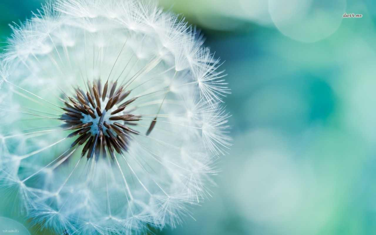 ... GaLLury 4 u: Wallpaper HD dandelion-close-up-1280x800-flower-wallpaper