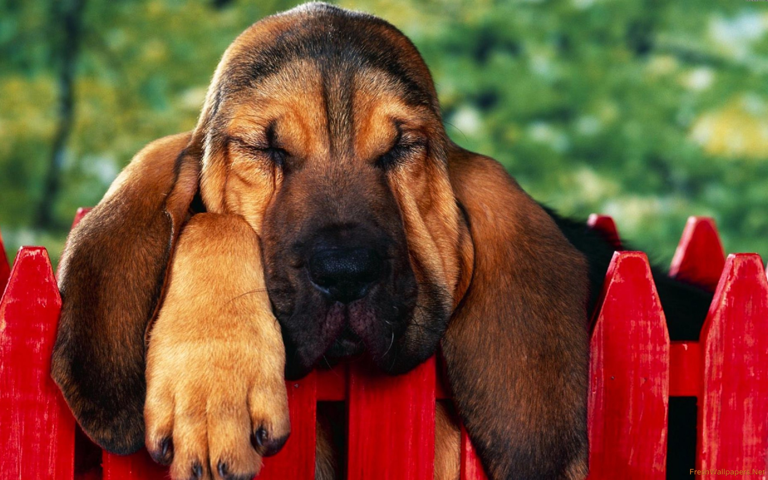 Bloodhound puppy wallpapers Freshwallpapers 2560x1600