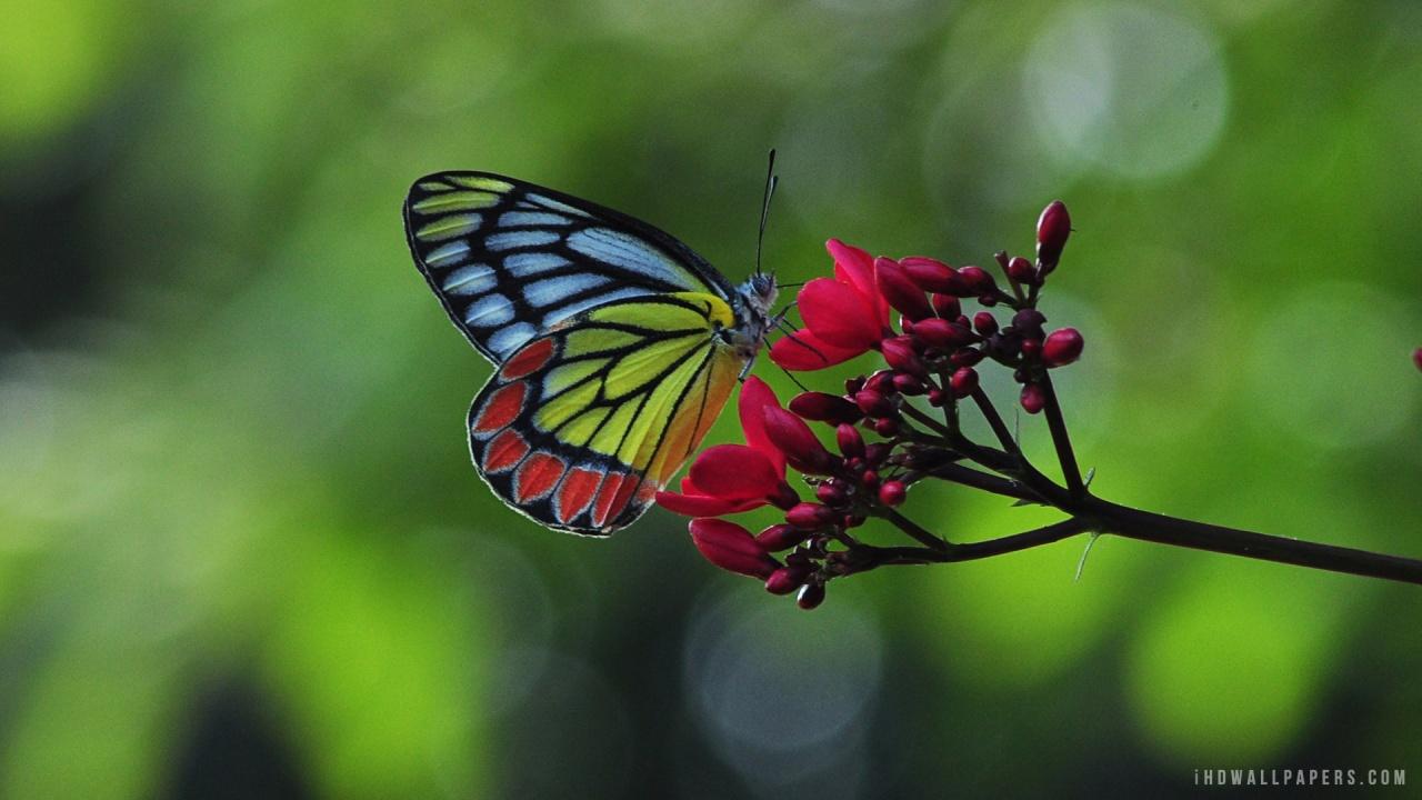 Common Jezebel Butterfly on Flower HD Wallpaper   iHD Wallpapers 1280x720