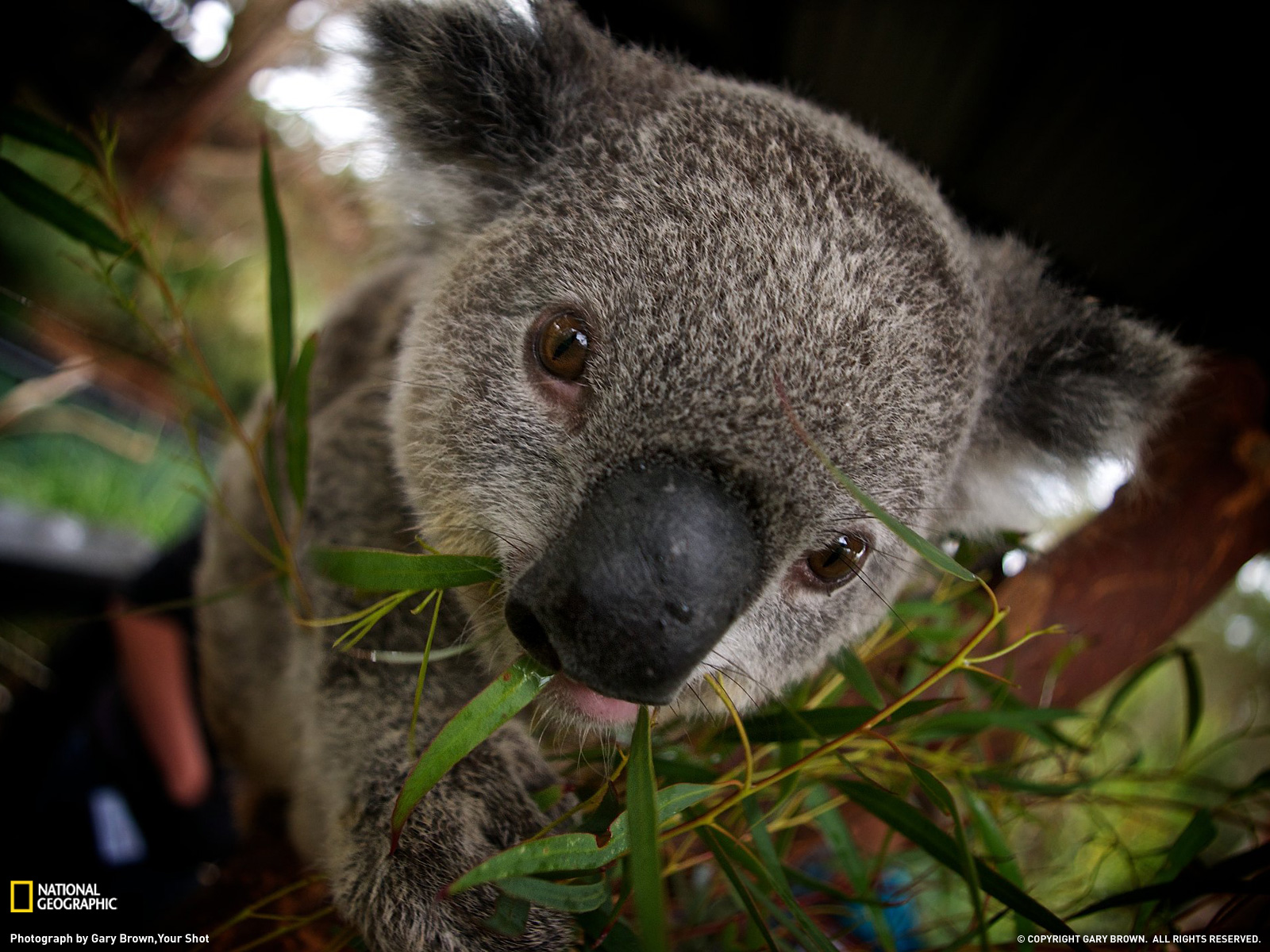 Koala Picture – Animal Wallpaper - National Geographic Photo of the ...