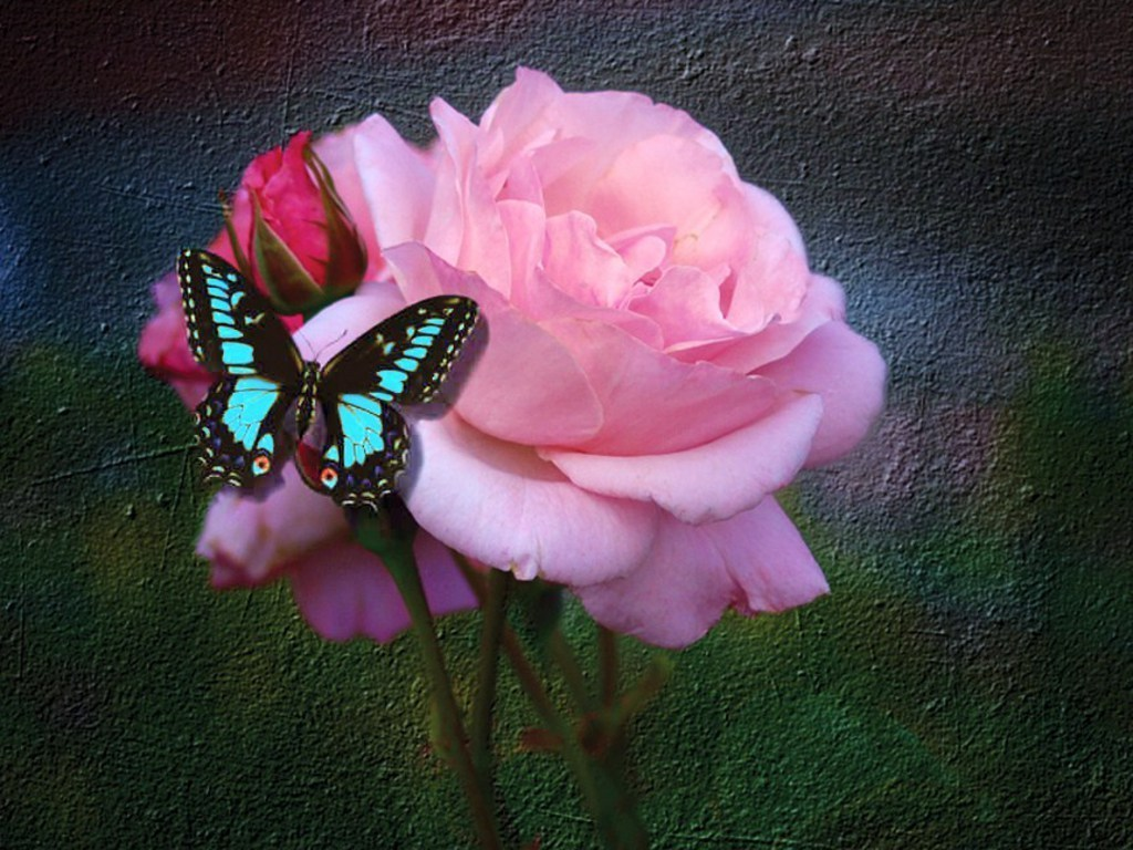 Roses images Butterfly And Rose HD wallpaper and background photos 1024x768