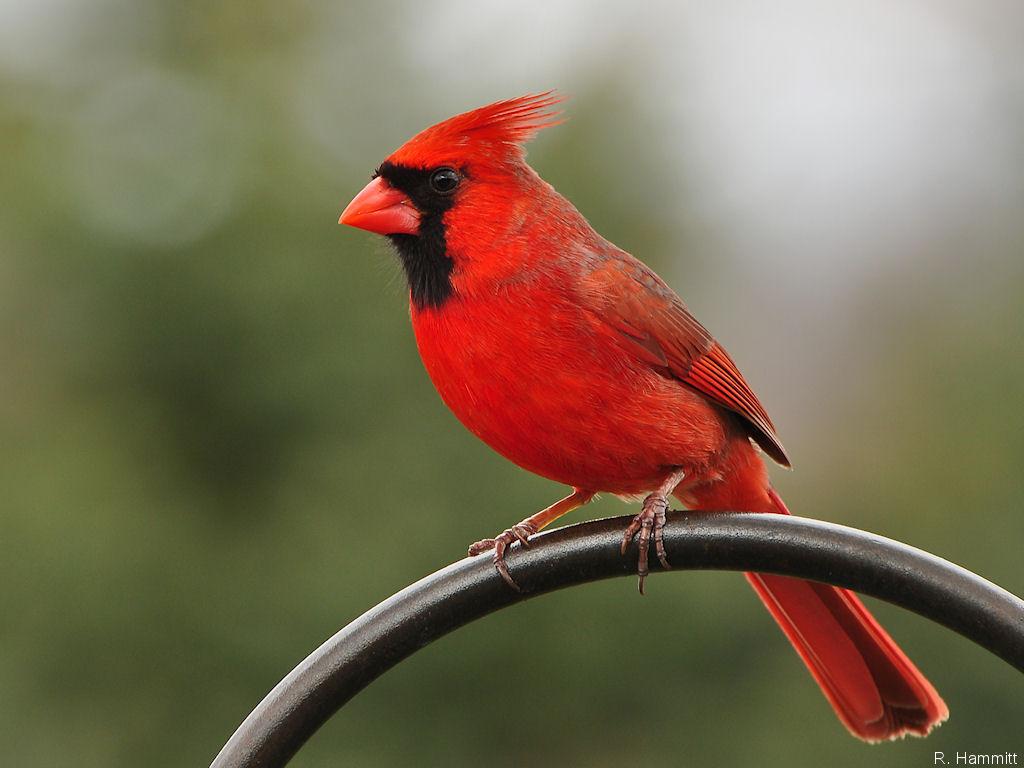 Wallpaper Male Cardinal Birds Desktop Birds Male Cardinal 1024x768