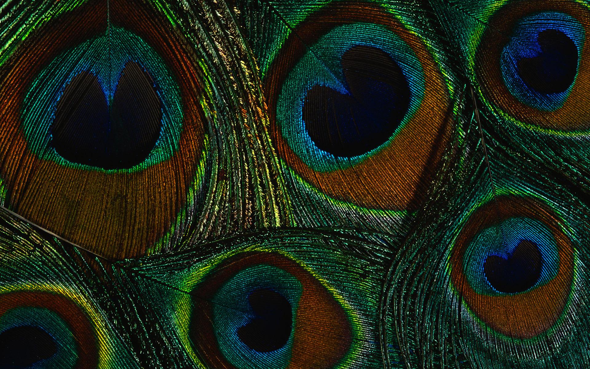 Peacock Feather Wallpaper 867502 Peacock Feather Wallpaper 867479 1920x1200