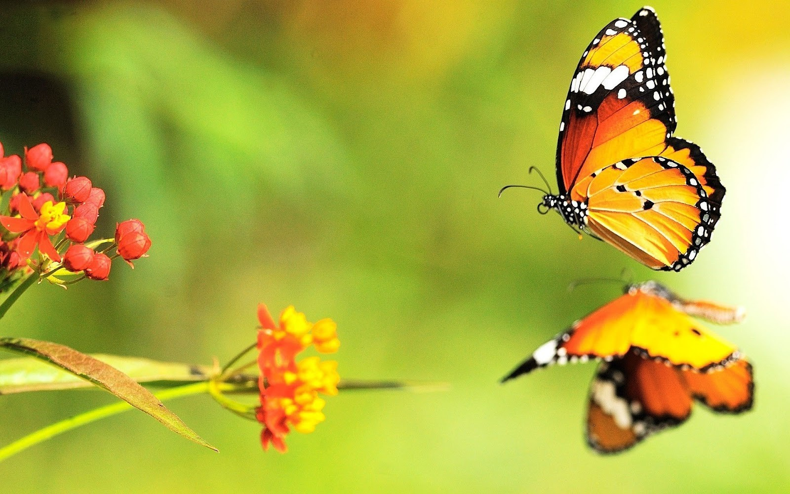 Beautiful butterfly wallpapers   SF Wallpaper 1600x1000