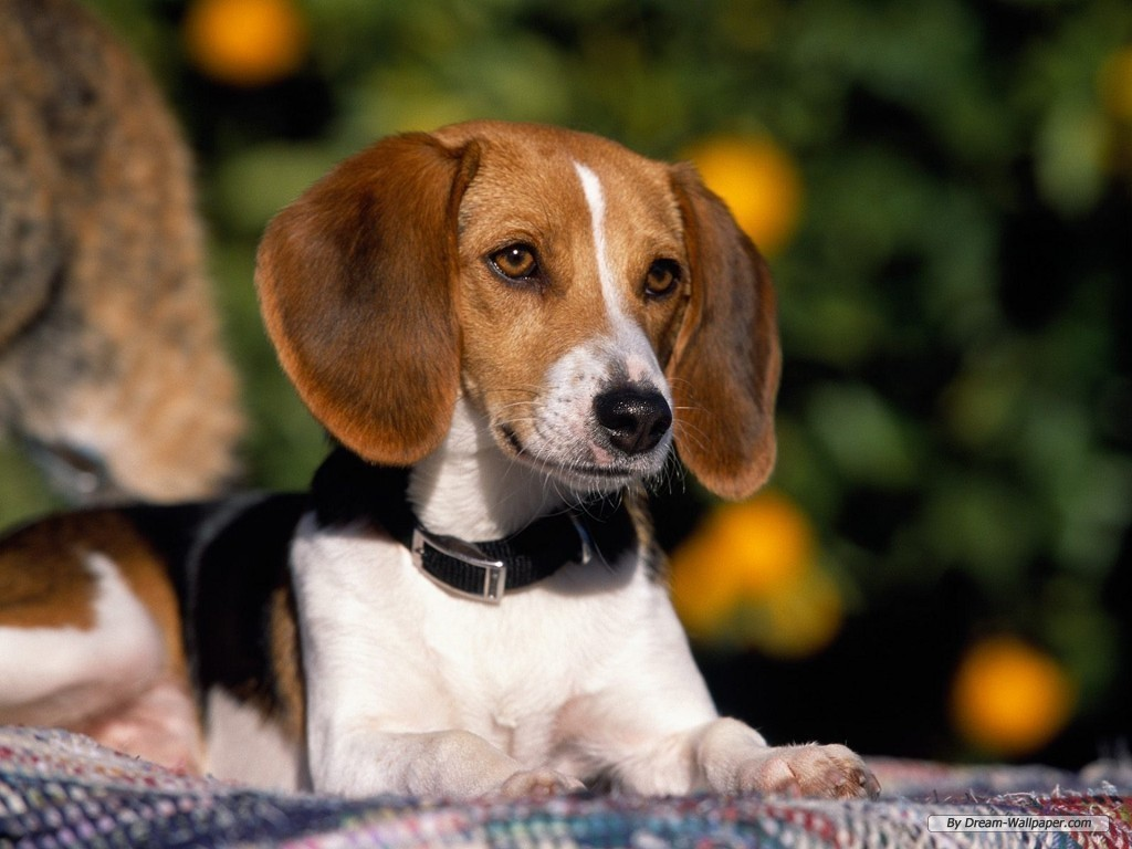 Beagle Wallpaper   Dogs Wallpaper 7013936 1024x768