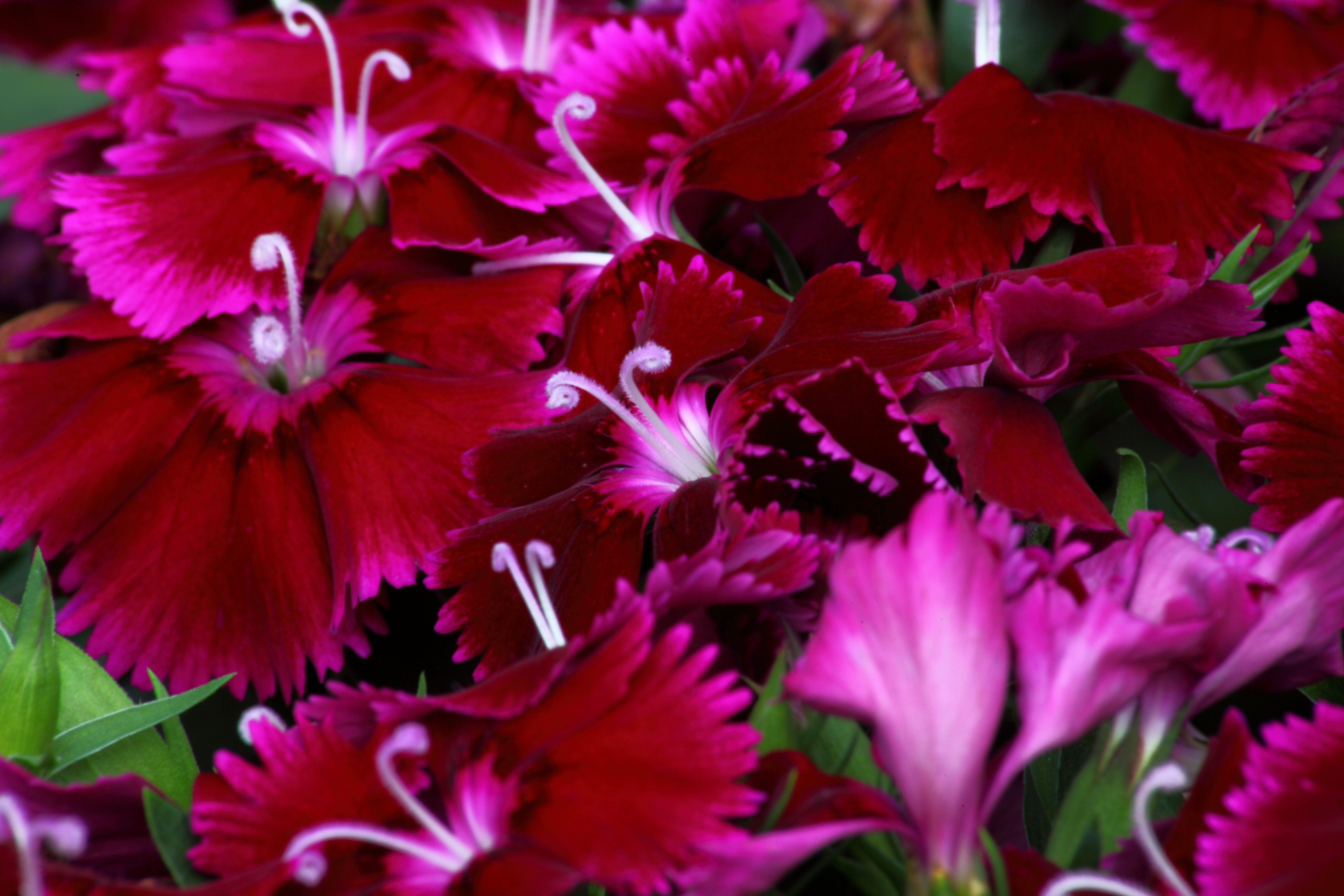 Dianthus Macro Flowers Nature Pictures by ForestWander 5616x3744