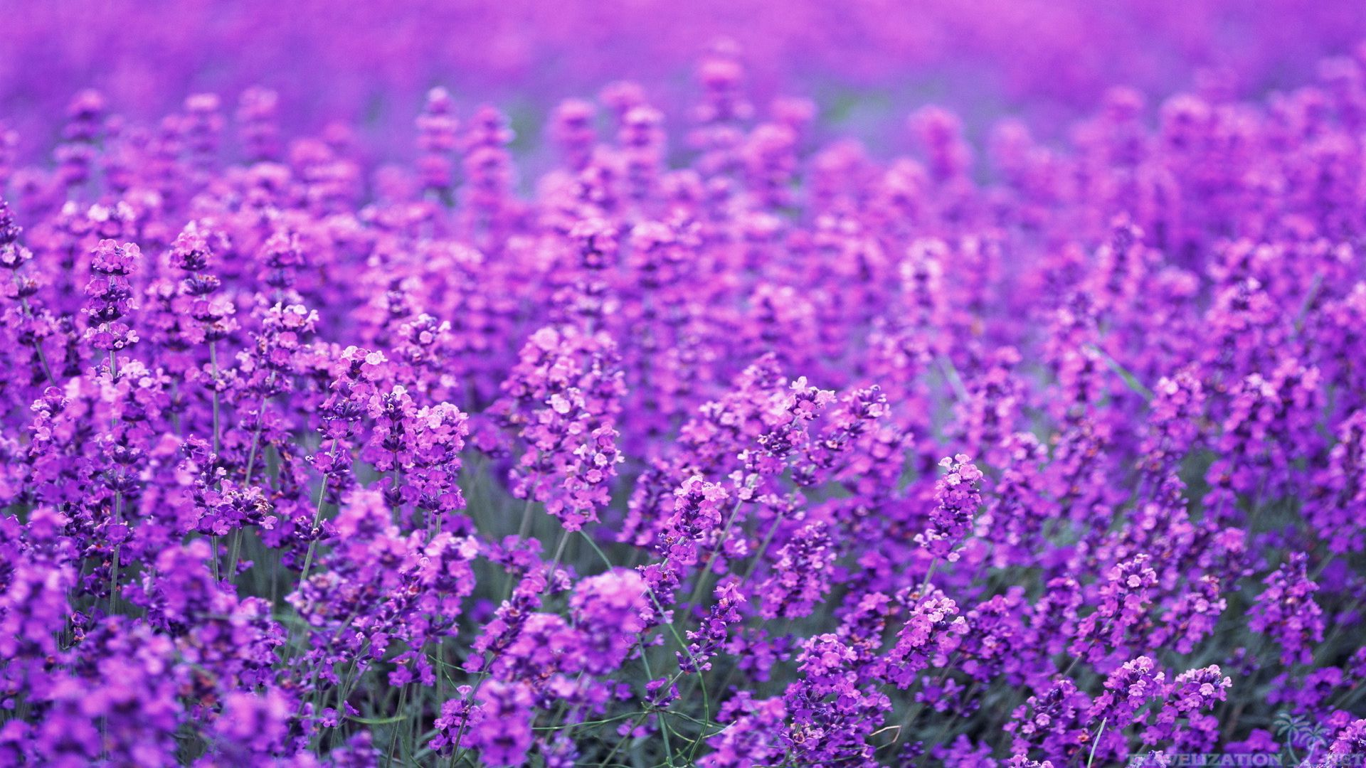 Beautiful Lavender Flowers HD Wallpaper 1691 Wallpaper 1920x1080
