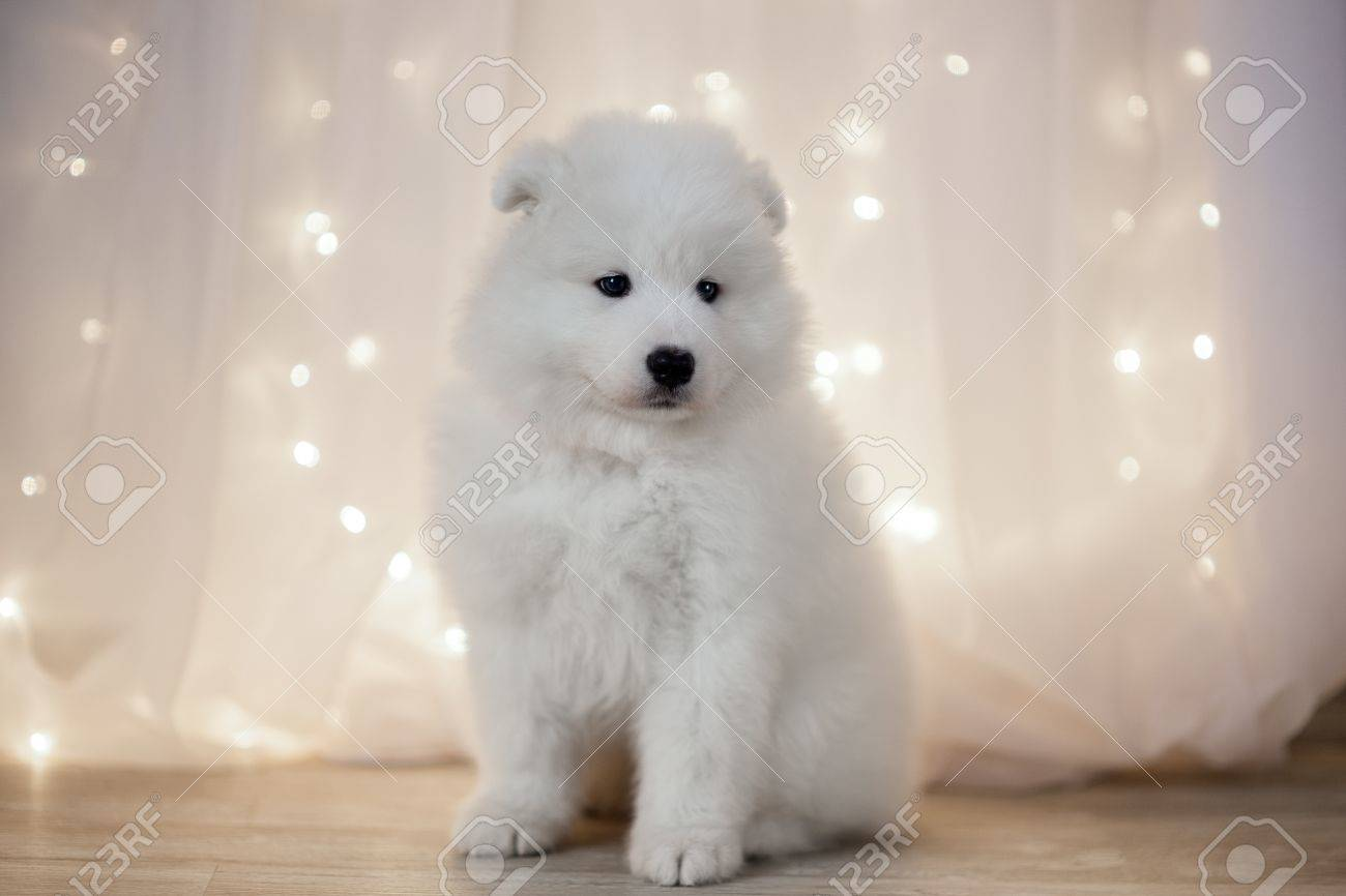Samoyed Puppy On A Background Garlands LED Stock Photo Picture 1300x866
