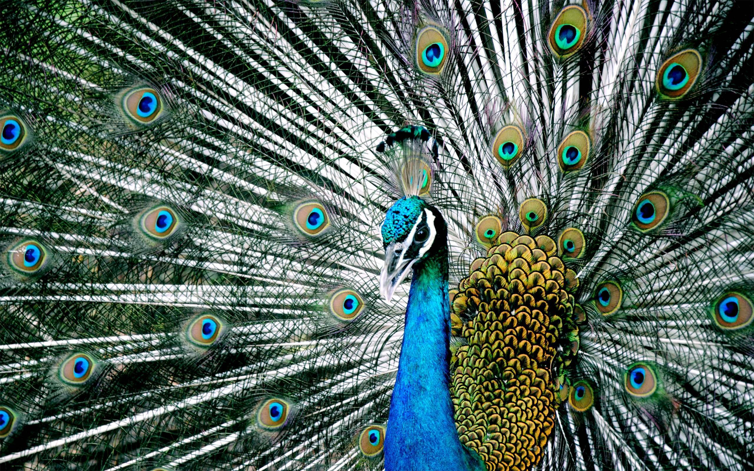 Peacock Blue Wallpaper Wallpapersafari