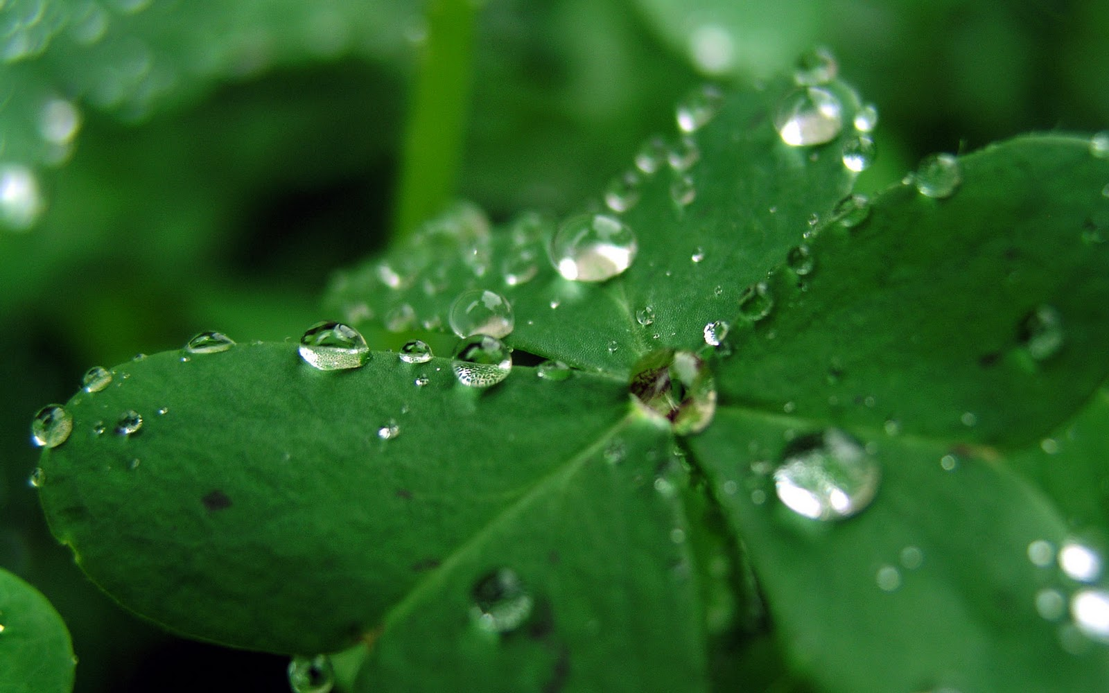 Fresh Rain Drops Green Clover HD Wallpapers Epic Desktop Backgrounds 1600x1000
