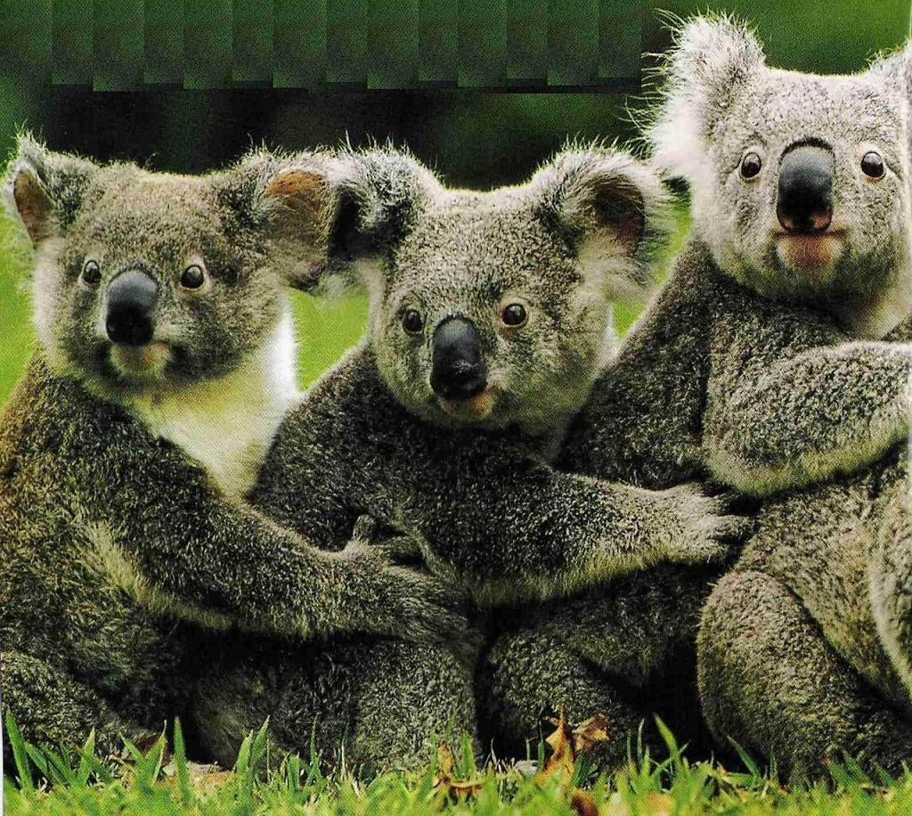 Koala Bears, Koala Bears wallpaper, Koala Bears picture, Koala Bears ...